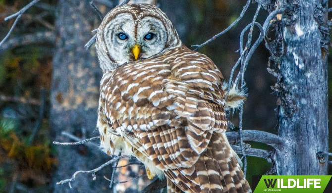 Barred Owl Hunting in the Canadian Rockies