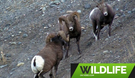 Wildlife on Video's Canadian Rockies Bighorn Rams HD 2019