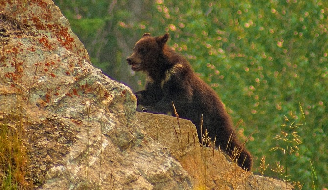 Grizzly Bear Cub Siblings Goofing Around near Athabasca River