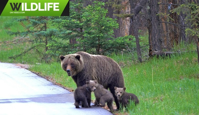 Big Grizzly Bear Mum with 3 Tiny Cubs
