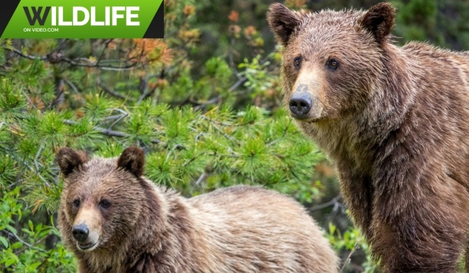 Back Country Grizzly Bear Family 2019