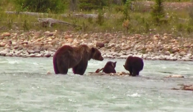 Grizzly Bear with Cubs Eating an Elk Kill in Athabasca River, Canada's Rockies