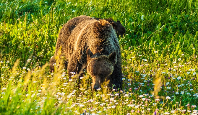 Grizzly Bear with Cubs of the Year Video