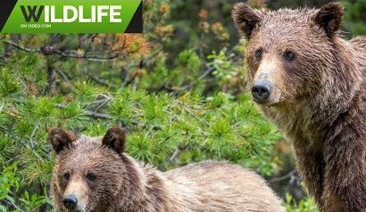 Grizzly Bears 2019 1