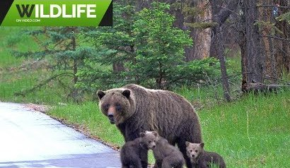 Grizzly Bears 2019 2