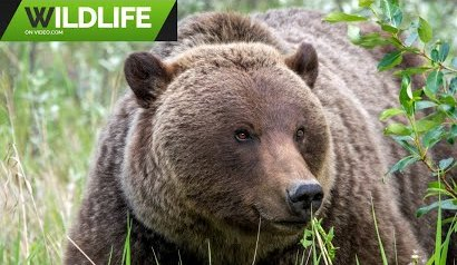 Grizzly Bears 2019 3