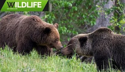 Grizzly Bears 2019 4