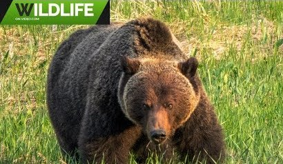 Grizzly Bears 2019 5